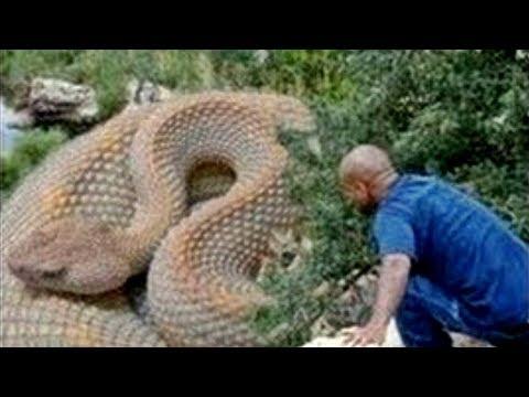 العرب اليوم - الثعابين الخمس الأكبر حجمًا في العالم