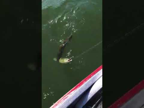 العرب اليوم - شاهد سمكة تحاول سرقة صياد فتلقي جزاءها