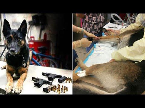 العرب اليوم - شاهد كلب بوليسي عرّض حياته للخطر لضبط كمية من الأسلحة