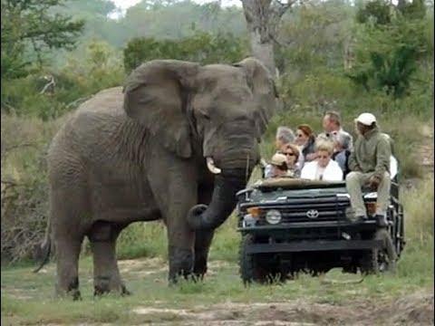 العرب اليوم - شاهد فيل ضخم يثير فزع سياح داخل حديقة سفاري