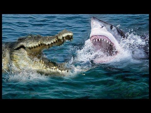 العرب اليوم - شاهد معركة داخل النهر سمكة القرش مقابل التمساح