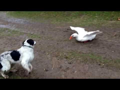 العرب اليوم - شاهد معركة كوميدية بين بط وكلاب