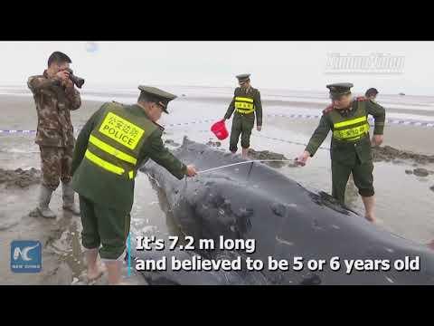 شاهد لحظة إنقاذ حوت أحدب على أحد الشواطئ الصينية
