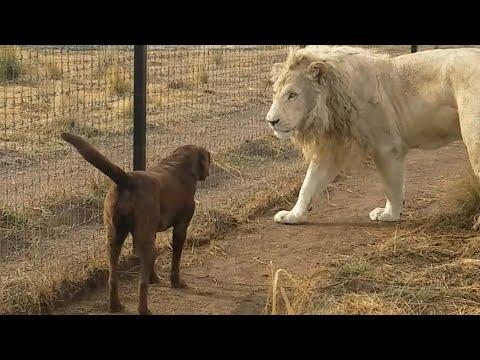 صداقة قوية بين أسد وكلب
