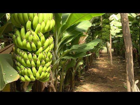 انطلاق فعاليات الدورة الثالثة لمهرجان الموز