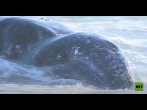 شاهد نفوق حوت رمادي بعد العثور عليه قرب سواحل لوس أنجلوس