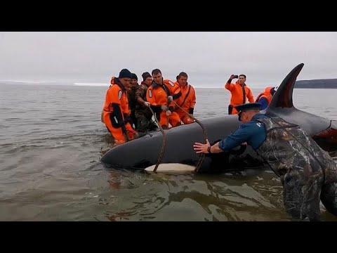 إنقاذ رضيع حوت الأوركا القاتل من الغرق في الرمال شرق روسيا