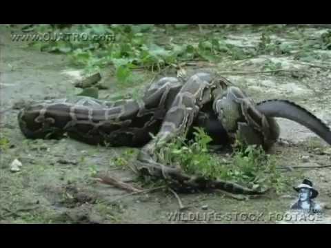 تمساح يخدع أفعى ويلتهمها من الداخل