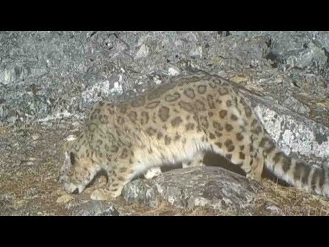 Arab Today, arab today images prove the existence of snow leopards
