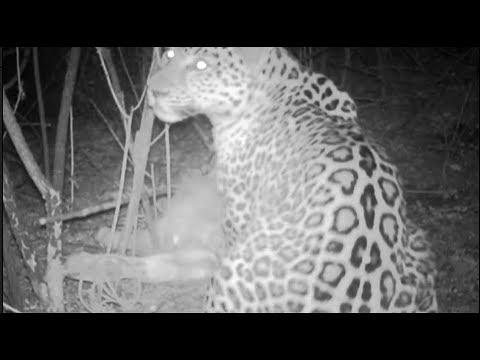 wild puma eats a bull in mountains