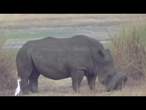 Arab Today, arab today rhino stuck in tire gets rescued