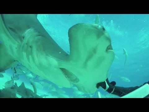 Arab Today, arab today massive hammerhead shark tries
