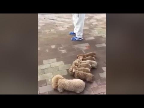Arab Today, arab today man walking dogs goes viral