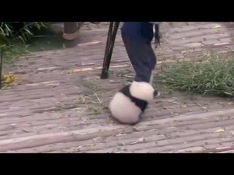 panda cub refuses to leave handler alone