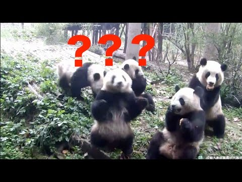 Arab Today, arab today footage confused panda battles