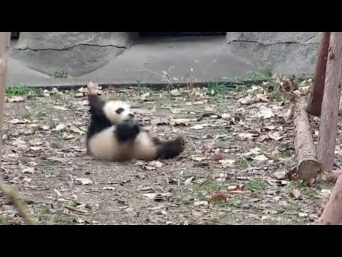 Arab Today, arab today cute alert angry baby panda