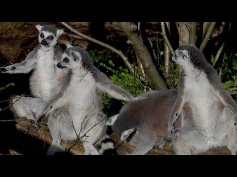Arab Today, arab today various of baby lemur at uk zoo
