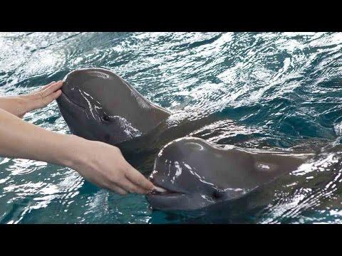 Arab Today, arab today endangered finless porpoises in 2017