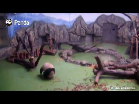 Arab Today, arab today panda performs forward rolls