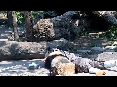 Arab Today, arab today panda soaks up some sunshine