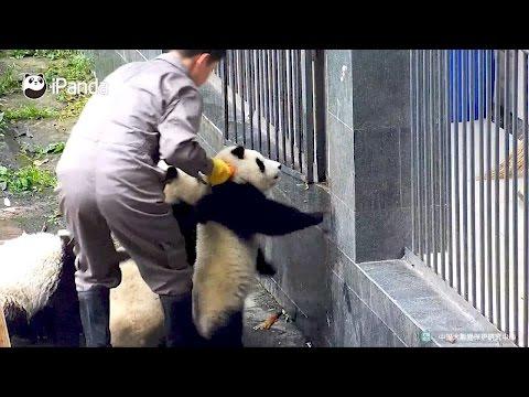 Arab Today, arab today panda cubs attempt quick getaway