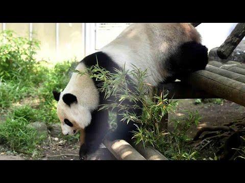 Arab Today, arab today giant panda shin shin at tokyo zoo shows signs of pregnancy