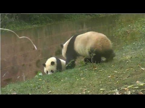 Arab Today, arab today panda busted while bullying sibling