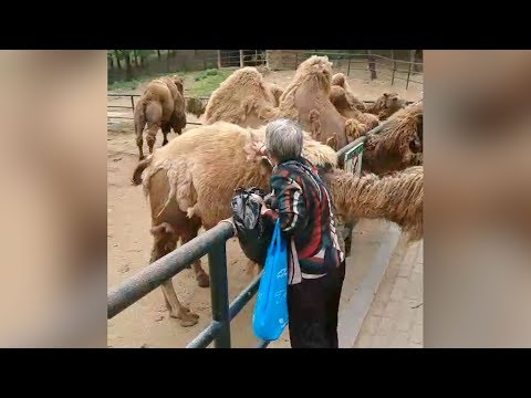 Arab Today, arab today woman filmed pulling fur off camel