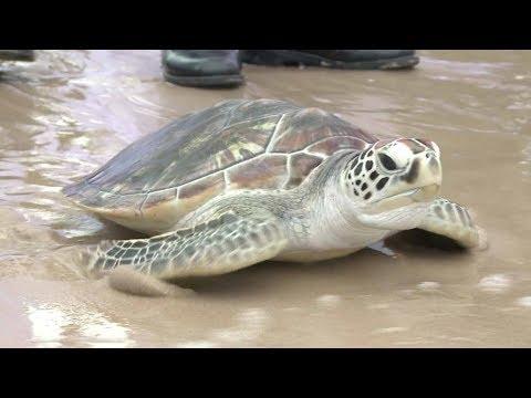 Arab Today, arab today thais free 1066 turtles to celebrate kings birthday