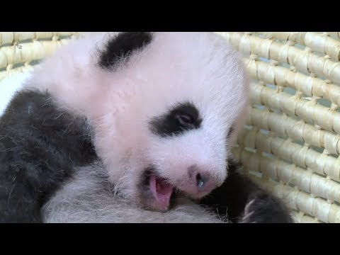 Arab Today, arab today tokyo zoo panda passes 60day milestone