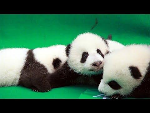 Arab Today, arab today cute alert 11 giant panda cubs make