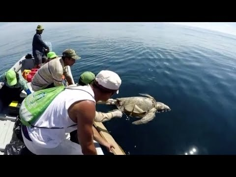 hundreds of sea turtles found dead off