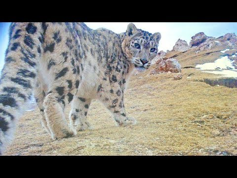 26 snow leopards spotted