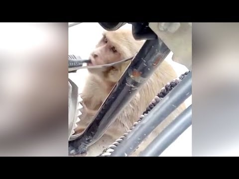 petroladdict monkey caught stealing fuel