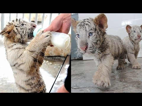 taiyuan zoo sees white tiger birth peak