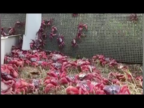 millions of red crabs use special bridge