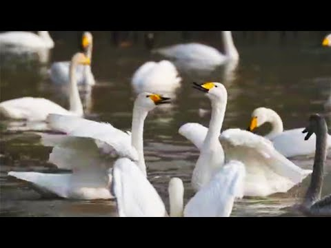 migrating swans settle down