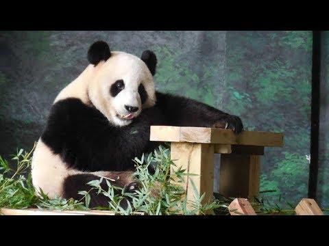 panda pair to arrive in