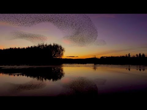 thousands of starlings swoop above cumbria