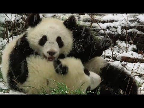 playful panda twins enjoy first snowfall