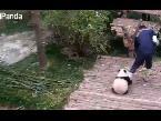 Arab Today, arab today panda cub refuses to let go of caretakers leg