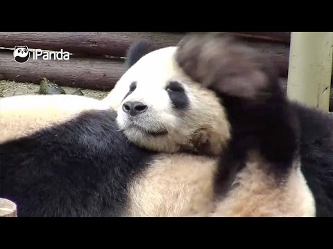 it itches check out these pandas