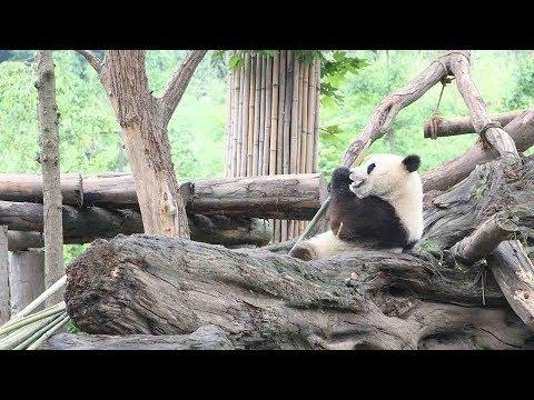 Arab Today, arab today three giant pandas arrive