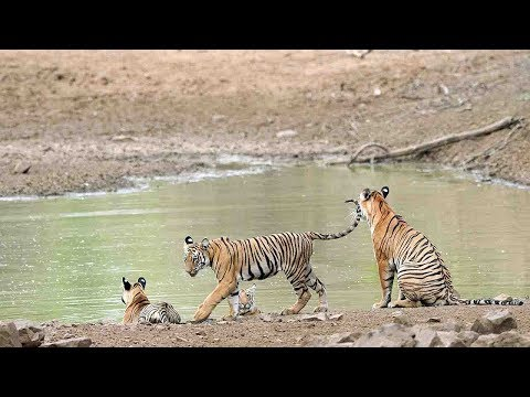 Arab Today, arab today ticket cheats near miss with tigers