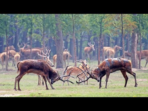 Arab Today, arab today extremely rare chinese stags lock horns