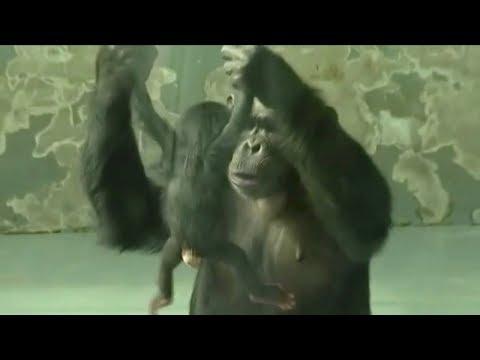 chimpanzee gives birth