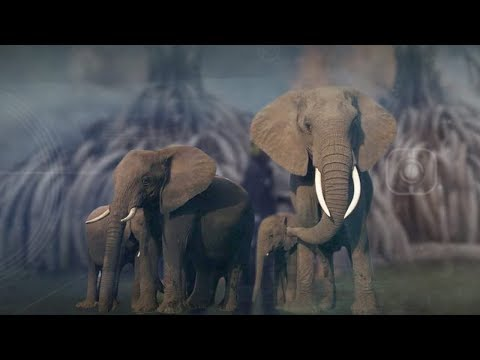 can china's ban on ivory trade save elephants