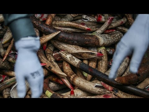 asia's role in ending illegal ivory trade