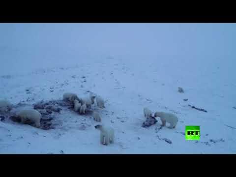50 دبًّا قطبيًّا يشل حركة قرية روسية