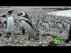 العرب اليوم - بالفيديو  طيور البطريق تتجمع بأعداد قياسية في جنوب الأرجنتين